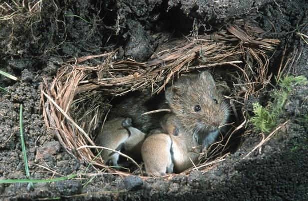 Resultado de imagen para raton de campo nido